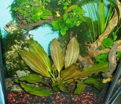 Рис. 5. Echinodorus Roze, Anubias barteri var. nana на коряге.