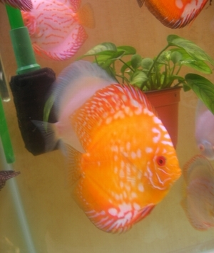 Рисунок №2.3. Anubias barteri var. nana в горшочке в аквариуме с дискусами.