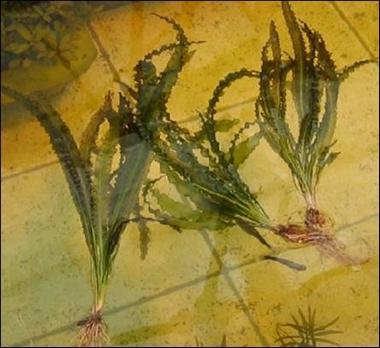 Рисунок №3. Апоногетон криспус (курчавый).