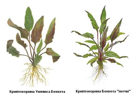 Рис. 4. Разновидности Криптокорины.